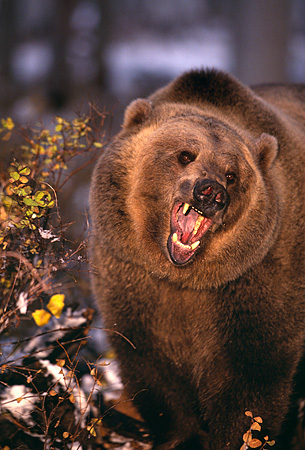 BEA 03 RK0039 08 © Kimball Stock Grizzly Bear Roaring