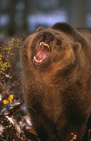 BEA 03 RK0040 02 © Kimball Stock Grizzly Bear Growling