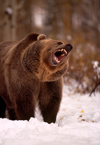 BEA 03 RK0043 01 © Kimball Stock Grizzly Bear Growling On Snow