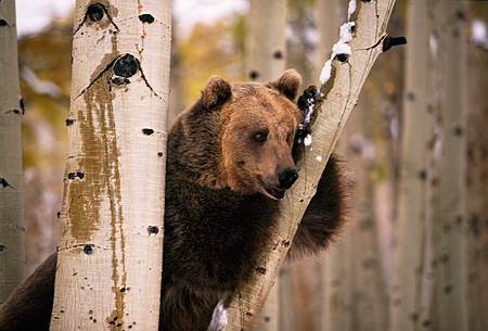 BEA 03 RK0050 07 © Kimball Stock Grizzly Bear Leaning On Tree Trunk
