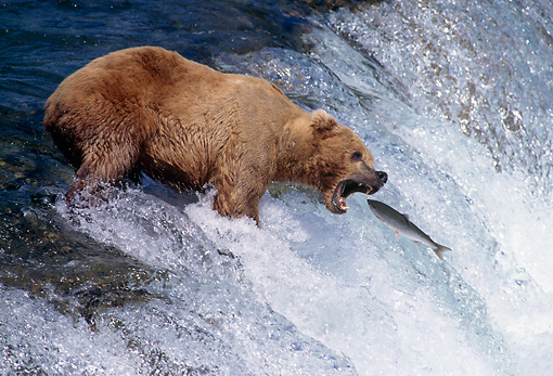 BEA 03 TK0004 01 © Kimball Stock Alaskan Brown Bear Catching Salmon At Rapids Alaska