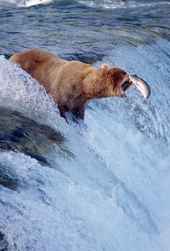 BEA 03 TK0005 01 © Kimball Stock Alaskan Brown Bear Catching Salmon At Rapids Alaska
