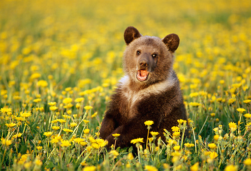 BEA 03 TK0006 01 © Kimball Stock Grizzly Bear Cub Sitting In Field Of Dandelions