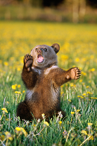 BEA 03 TK0008 01 © Kimball Stock Grizzly Bear Cub Playing In Field Of Dandelions