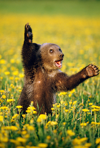 BEA 03 TK0009 01 © Kimball Stock Grizzly Bear Cub Playing In Field Of Dandelions