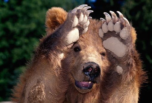BEA 03 TK0010 01 © Kimball Stock Head On Head Shot Of Grizzly Bear Holding Paws Up