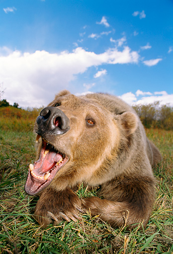 BEA 03 TK0011 01 © Kimball Stock Grizzly Bear Laying On Ground Roaring At Camera Rocky Mountains