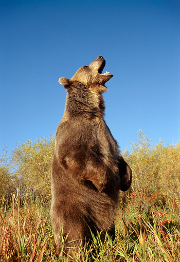 BEA 03 TK0012 01 © Kimball Stock Grizzly Bear Standing And Roaring Rocky Mountains