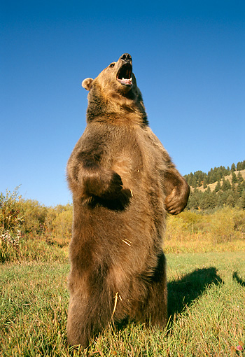 BEA 03 TK0013 01 © Kimball Stock Grizzly Bear Standing And Roaring Rocky Mountains