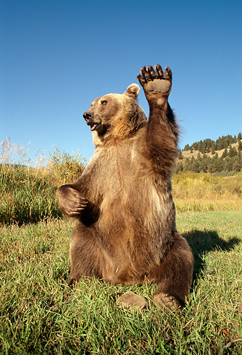 BEA 03 TK0014 01 © Kimball Stock Grizzly Bear Sitting And Waving Rocky Mountains