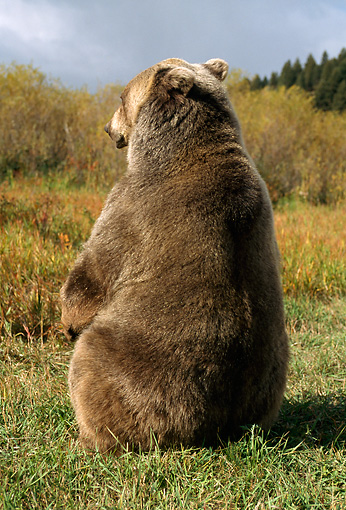 BEA 03 TK0016 01 © Kimball Stock Rear View Of Grizzly Bear Sitting In Field Rocky Mountains