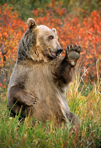 BEA 03 TK0020 01 © Kimball Stock Grizzly Bear Sitting In Field Waving Rocky Mountains