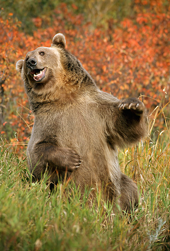 BEA 03 TK0021 01 © Kimball Stock Grizzly Bear Sitting In Field Rocky Mountains