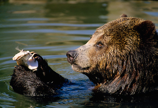 BEA 03 TK0023 01 © Kimball Stock Profile Head Shot Of Grizzly Bear Playing With Object In River