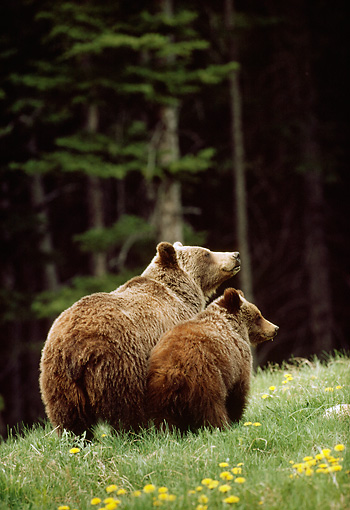 BEA 03 TK0024 01 © Kimball Stock Rear View Of Grizzly Bear Sow And Cub Standing In Field By Woods Rocky Mountains