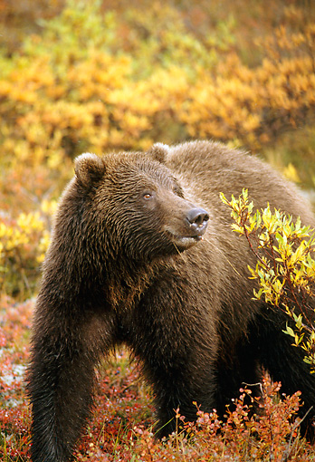 BEA 03 TK0026 01 © Kimball Stock Grizzly Bear Walking Through Shrubs Autumn Alaska