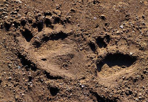 BEA 03 TK0027 01 © Kimball Stock Grizzly Bear Tracks In Dirt Alaska