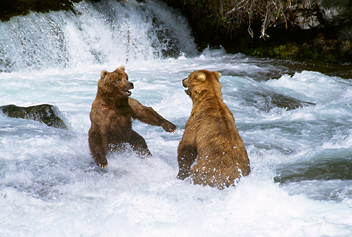 BEA 03 TL0002 01 © Kimball Stock Two Grizzly Bears Playing In Water