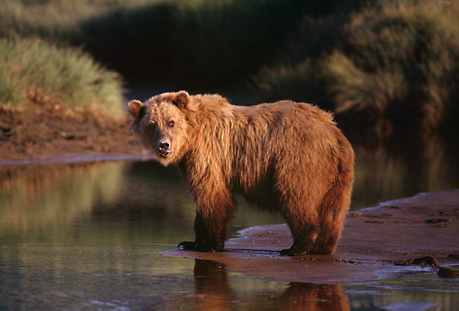 BEA 03 TL0003 01 © Kimball Stock Portrait Of Coastal Grizzly Bear By Creek