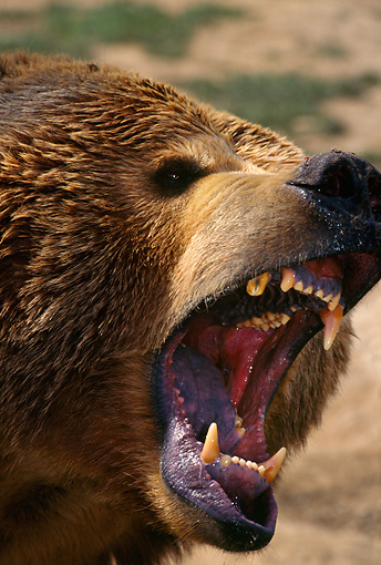 BEA 03 TL0005 01 © Kimball Stock Portrait Head Shot Of Grizzly Bear Growling