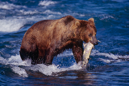 BEA 03 TL0006 01 © Kimball Stock Coastal Grizzly Bear With Salmon In Mouth Alaska