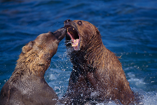 BEA 03 TL0007 01 © Kimball Stock Two Coastal Grizzly Bears Playing In Water