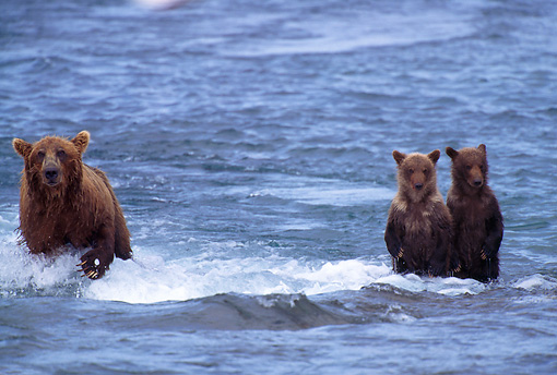 BEA 03 TL0008 01 © Kimball Stock Coastal Grizzly Bear Mom Fish While Young Cubs Wait