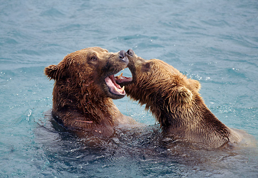 BEA 03 TL0009 01 © Kimball Stock Head Shot Of Two Coastal Grizzly Bears Wresting In Water