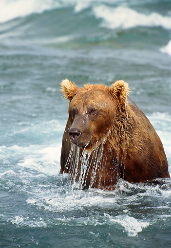 BEA 03 TL0010 01 © Kimball Stock Head Shot Of Coastal Grizzly Bear Playing In Surf