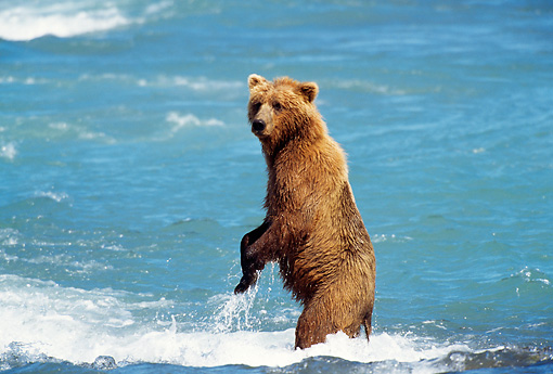 BEA 03 TL0011 01 © Kimball Stock Coastal Grizzly Bear Standing On Hind Legs In Turbulent River