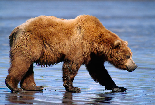 BEA 03 TL0013 01 © Kimball Stock Profile Of Coastal Grizzly Bear Walking Along Riverbank