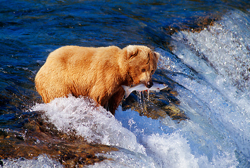 BEA 03 TL0014 01 © Kimball Stock Coastal Grizzly Bear Catching Salmon At Rapids