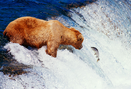 BEA 03 TL0015 01 © Kimball Stock Coastal Grizzly Bear Catching Salmon At Rapids