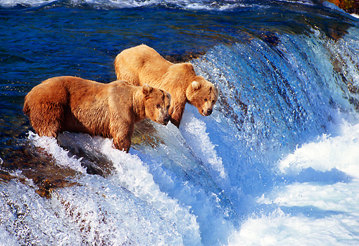 BEA 03 TL0016 01 © Kimball Stock Two Coastal Grizzly Bears Catching Salmon At Rapids