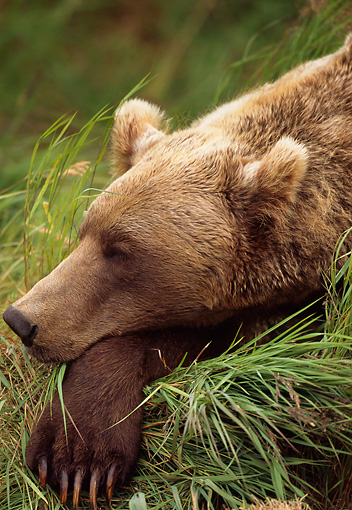 BEA 03 TL0018 01 © Kimball Stock Head Shot Of Coastal Grizzly Bear Sleeping