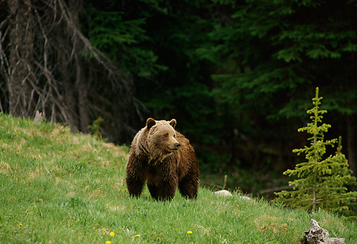 BEA 03 TL0019 01 © Kimball Stock Grizzly Bear Standing On Grass By Small Evergreen Tree