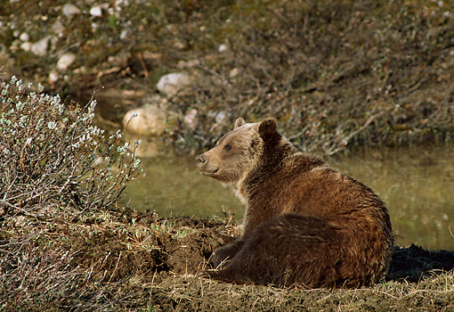 BEA 03 TL0020 01 © Kimball Stock Grizzly Bear Laying At Edge Of Pond