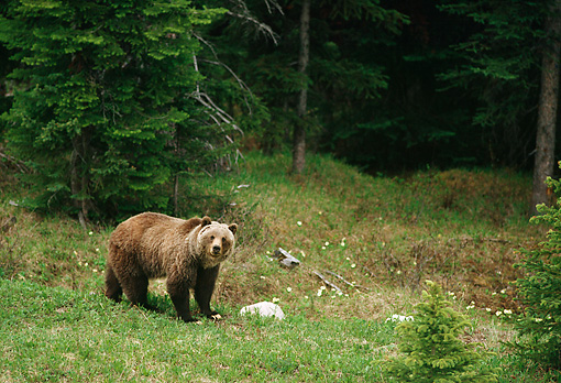BEA 03 TL0021 01 © Kimball Stock Grizzly Bear Standing On Grass At Edge Of Woods