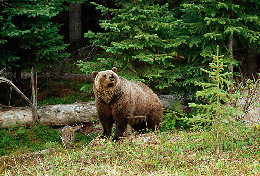 BEA 03 TL0022 01 © Kimball Stock Grizzly Bear Standing By Log At Edge Of Woods