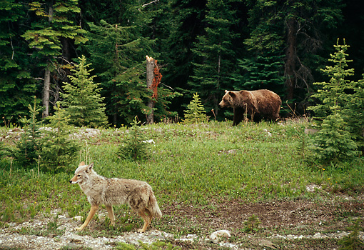 BEA 03 TL0023 01 © Kimball Stock Grizzly Bear And Coyote Walking Near Edge Of Woods
