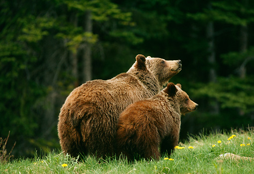 BEA 03 TL0024 01 © Kimball Stock Grizzly Bear Sow And Cub Standing On Grass Hillside Woods