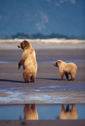 BEA 03 TL0025 01 © Kimball Stock Grizzly Bear Sow And Cub Standing On Beach