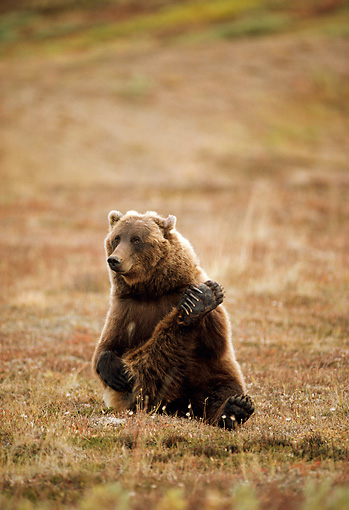 BEA 03 TL0027 01 © Kimball Stock Grizzly Bear Scratching In Field