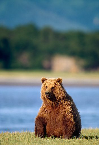 BEA 03 TL0028 01 © Kimball Stock Grizzly Bear Sitting On Grass Near River