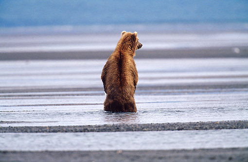 BEA 04 BA0001 01 © Kimball Stock Kodiak Bear Standing On Hind Legs In Water