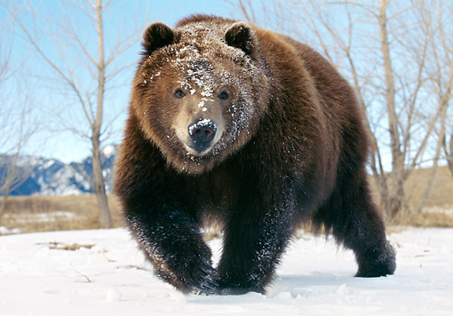 BEA 04 GL0001 01 © Kimball Stock Kodiak Bear Walking On Snow