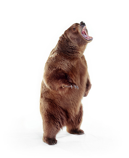 BEA 04 RK0001 08 © Kimball Stock Kodiak Bear Standing Upright On White Seamless Studio