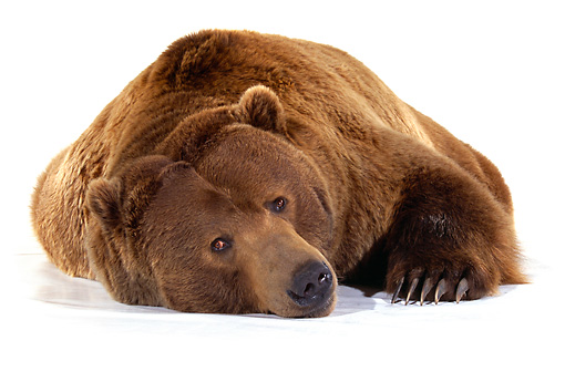 BEA 04 RK0027 29 © Kimball Stock Head Shot Of Kodiak Bear Laying On White Seamless Studio