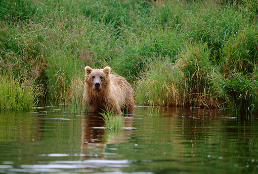 BEA 04 DB0001 01 © Kimball Stock Alaskan Brown Bear Fishing For Salmon
