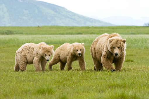 BEA 04 NE0001 01 © Kimball Stock Kodiak Bear Mother With Two Cubs Walking In Field Alaska